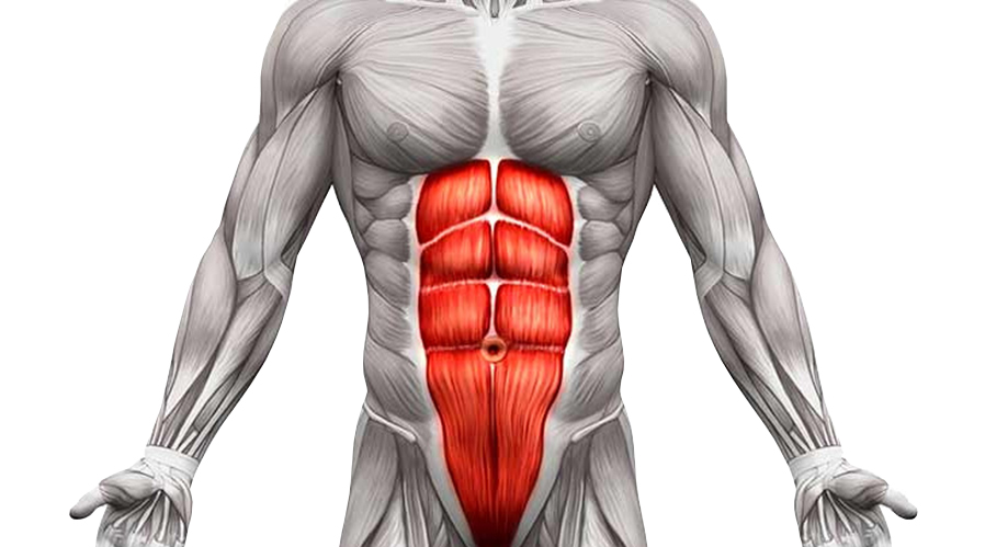 Abs Exercises Anatomy Rectus abdominis muscle